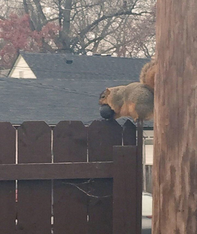 This is the fattest squirrel I've ever seen