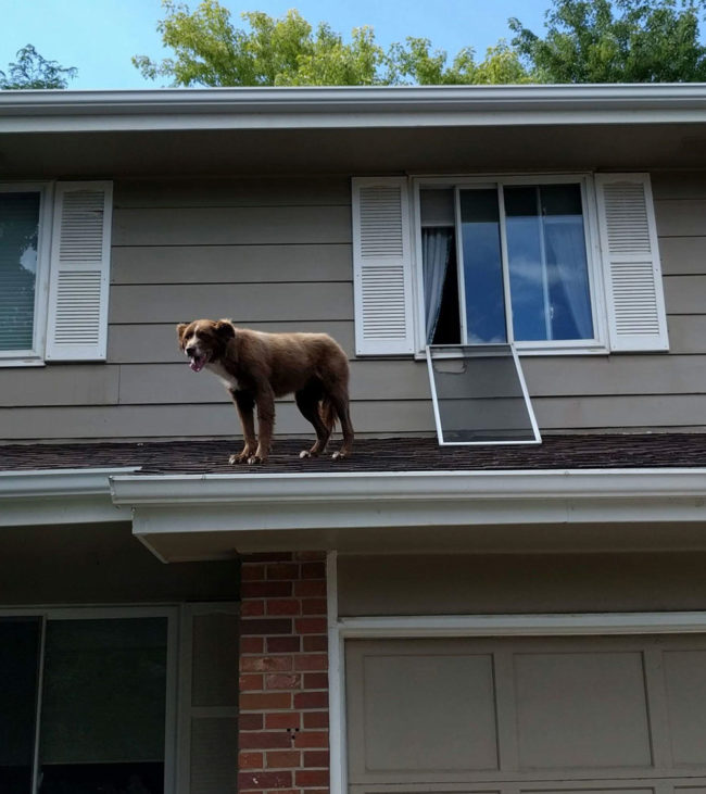 "My dad just sent me this pic of our dog. The neighbors texted him in the middle of the day, ""Your dog is on the roof..."""