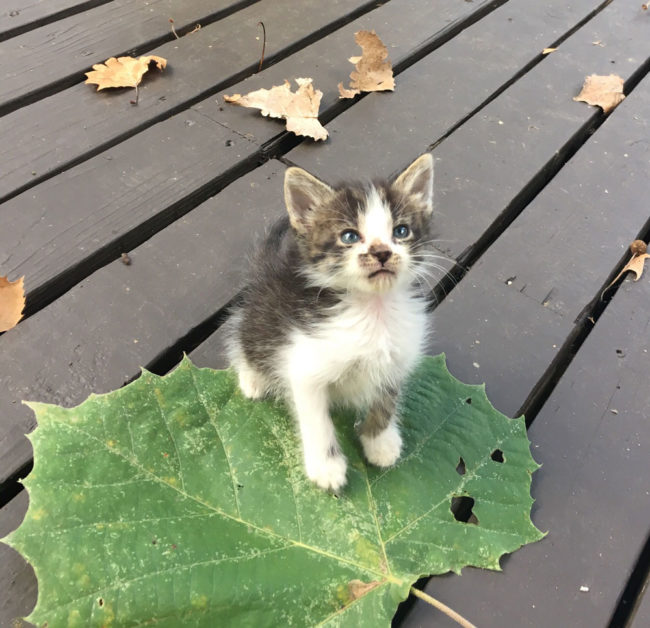 Meet Ajax. He's 4 weeks old and that is a sycamore leaf