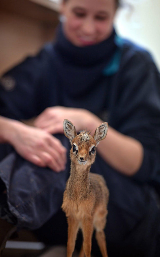 Baby dik-dik at the Chester Zoo. His name is Thanos