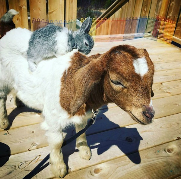 Meet my pet Goat and his pet Rabbit