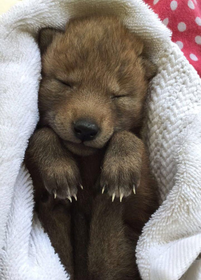 Just a coyote pup taking a nap