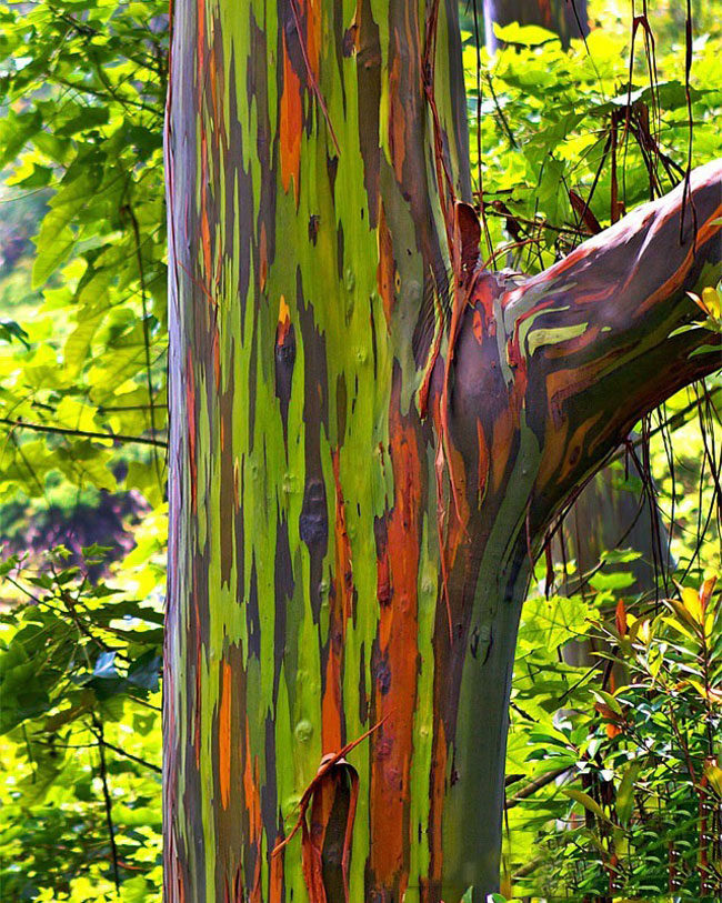 Bark of a Rainbow Eucalyptus tree