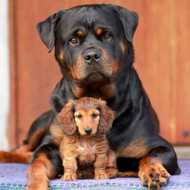 My Beautiful Rottweiler Protecting our new Family member