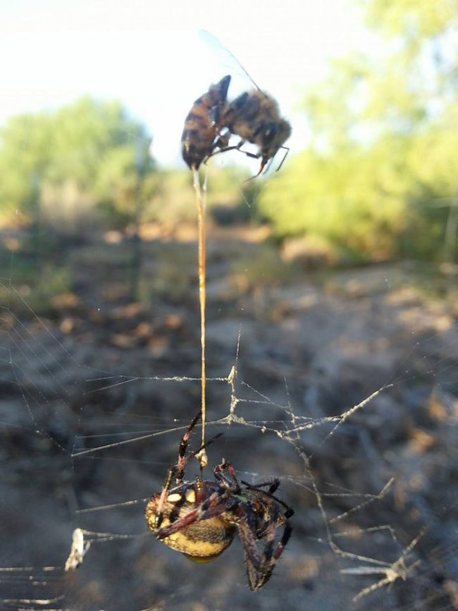 Spider catches bee, bee stings spider. Both dead, with bee's stinger still in the spider