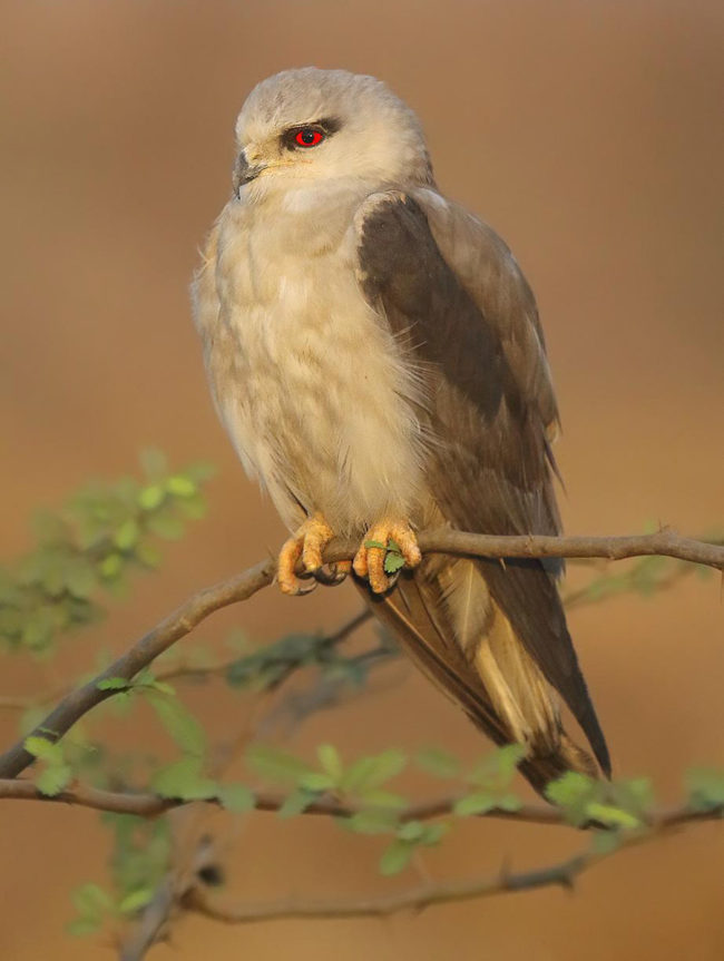 I took this photo of a black-winged kite who lives on my uncle's farm