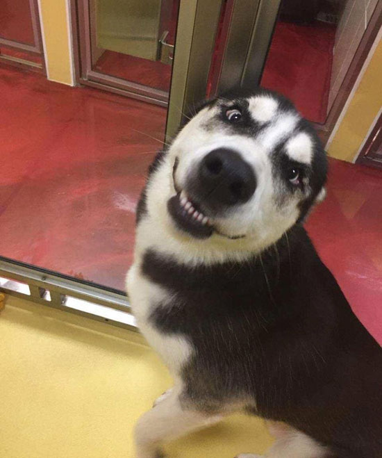 My parents still don't have power after hurricane Irma so they sent our husky to a local doggy daycare to enjoy some air conditioning