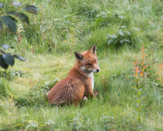 My wife took this fantastic fox photo from our flat in Scotland