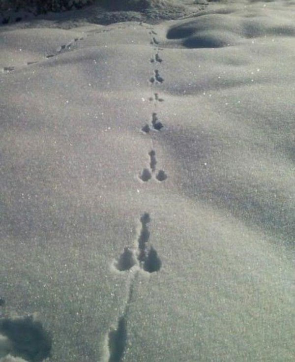 What kind of animal leaves tracks like this?