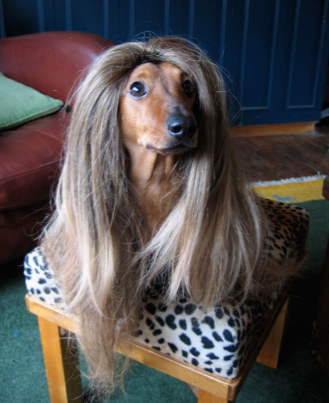 My Dachshund looks great in a wig