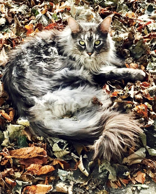 Our Maine Coon Webster enjoying Autumn leaves