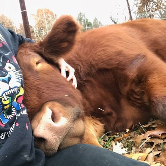 Chico the cow getting cuddles at The Gentle Barn Sanctuary