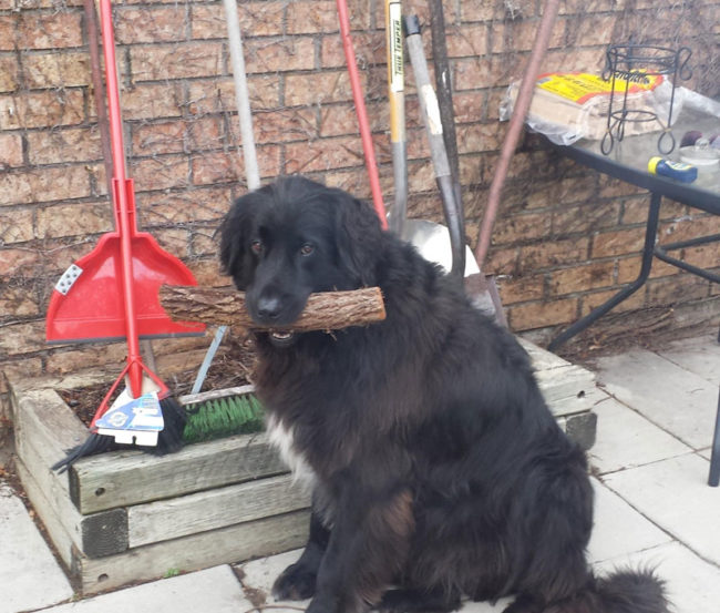 This is Ben. He doesn't know what the Telecom Lobby is but he is a good boy who likes to carry logs