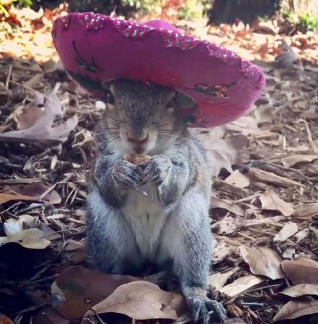 My friend rehabilitated and released a squirrel 6 years ago. She still stops by for snacks and lets my friend put hats on her