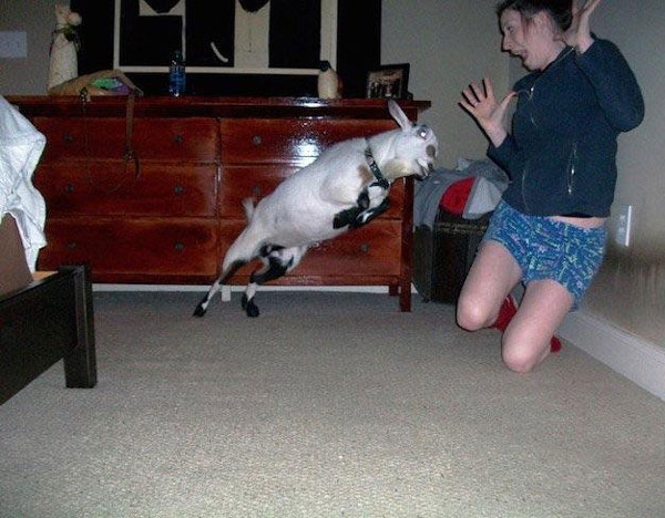 This is what happens when you bring a goat indoors
