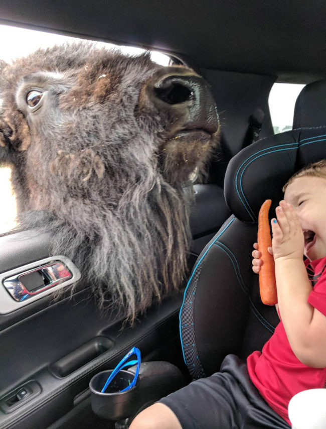My nephew met a bison the other day