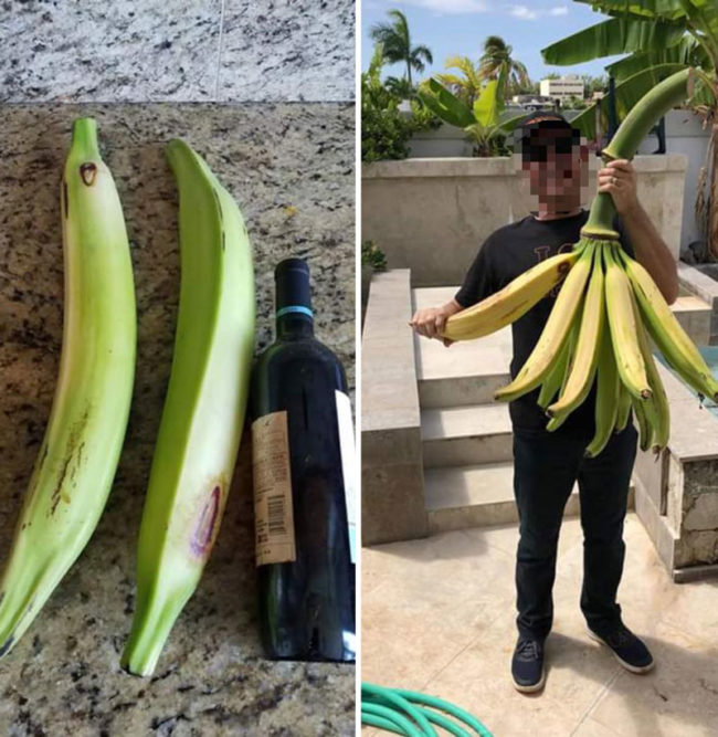 "When ""Banana for scale"" goes wrong. These grew in my uncle's backyard"