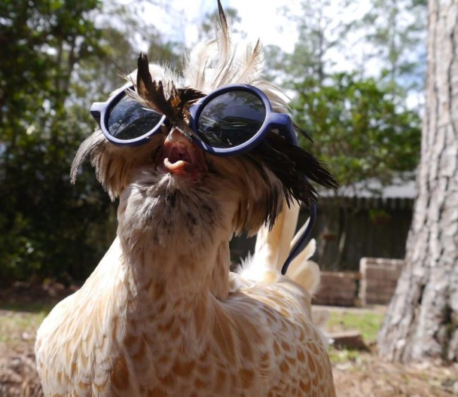 You may be cool, but you'll never be chicken wearing glasses cool