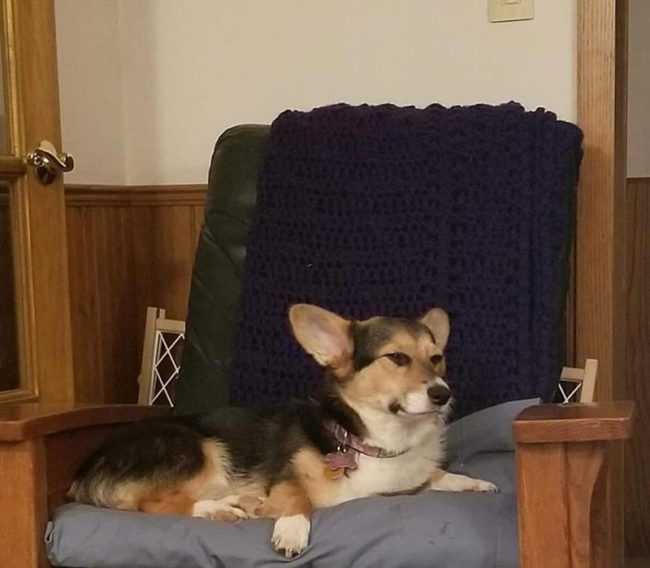 A very disgruntled corgi after farting herself out of a nap