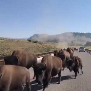 Intense Bison Stampede In Yellowstone National Park