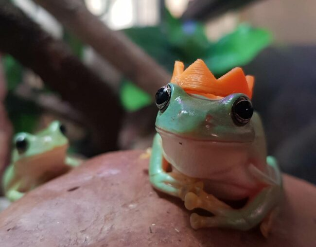 My brother and I have pet frogs and they don't mind if you put stuff on them, so we 3D printed little crowns