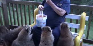 The Raccoon Whisperer Has been Taking Care Of Raccoons for 25 years