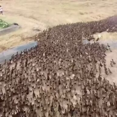 Swarm Of 10,000 Ducks Clean Up Rice Fields