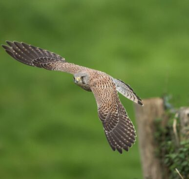 Hunting Kestrel Hovers Over Windy Cliff