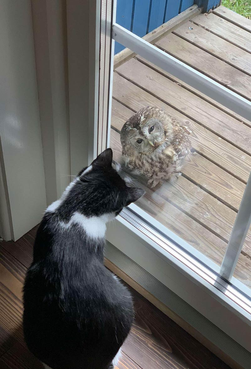 My friend's cat and an owl that flew into the window, had a intense staring competition today