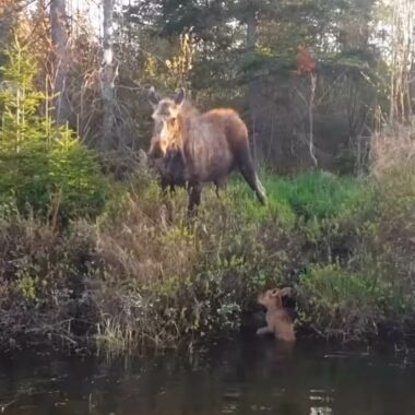 Fishermen Rescue Moose Calf From Lake